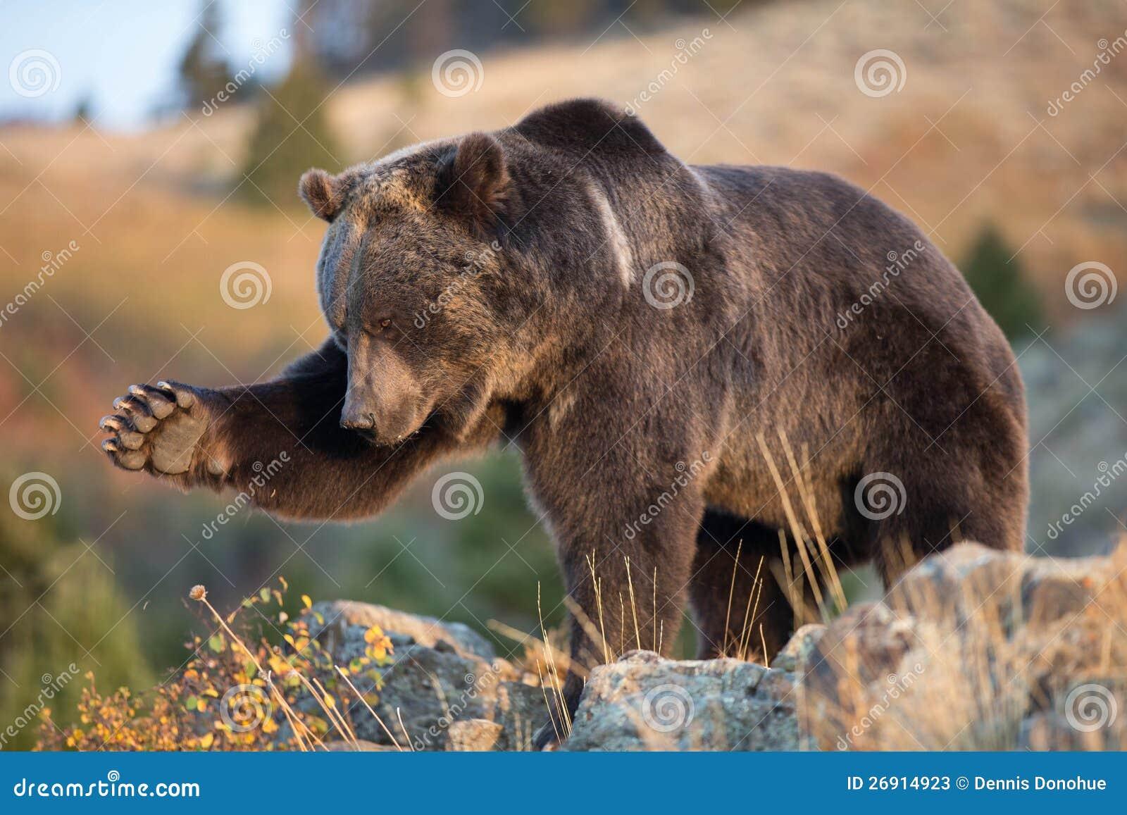北美洲棕熊(北美灰熊)