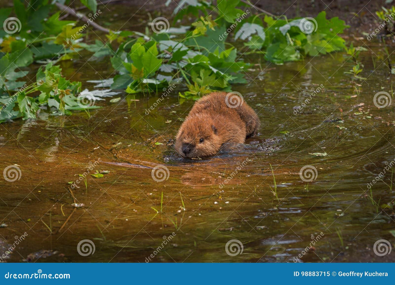 北美洲海狸铸工canadensis成套工具趟过入水