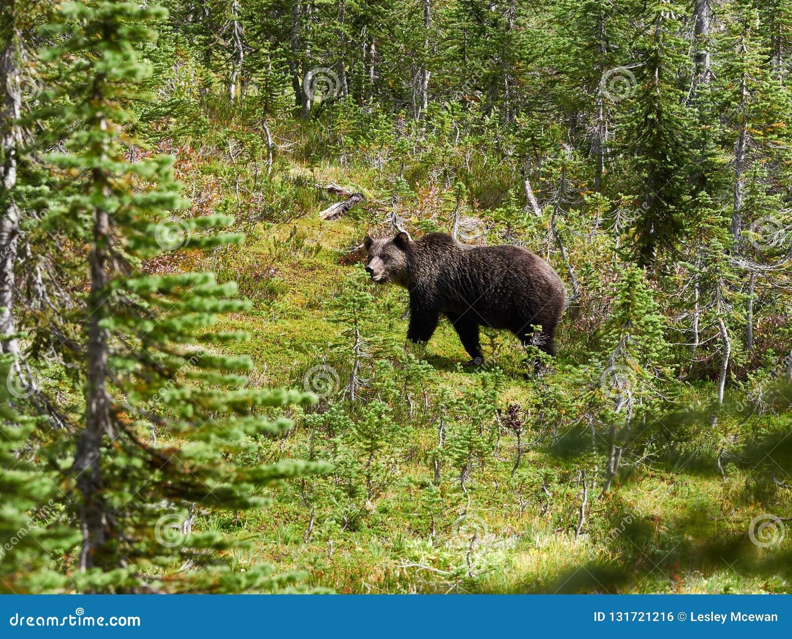 北美灰熊在草甸在雷夫尔斯托克加拿大