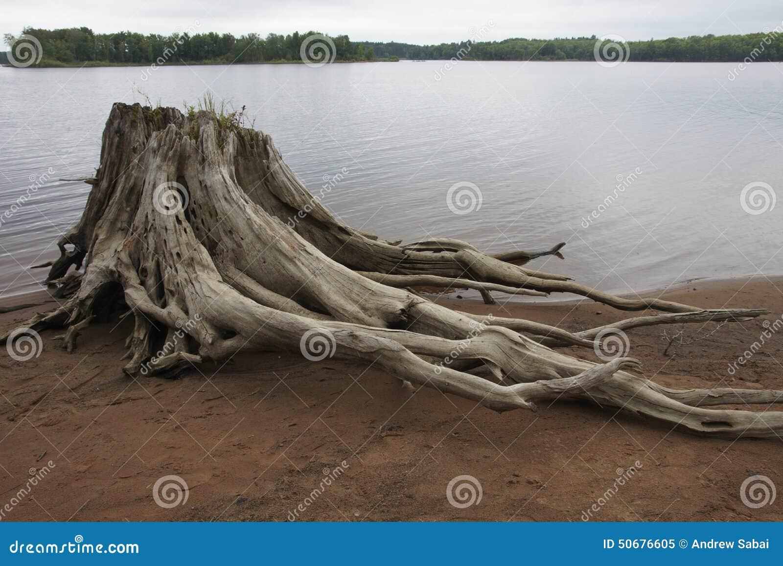Download 北美白松树桩 库存图片. 图片 包括有 木头, 杉木, 重婚, 巨大, 空白, 东部 - 50676605