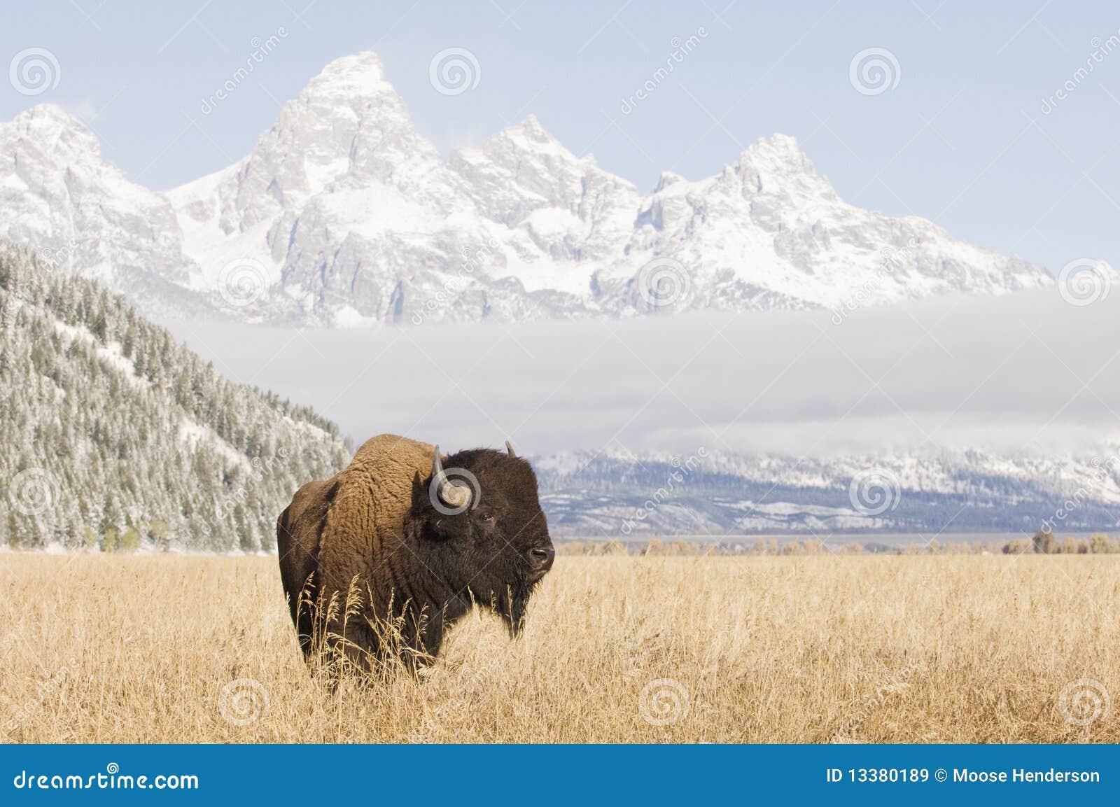 北美野牛全部山teton