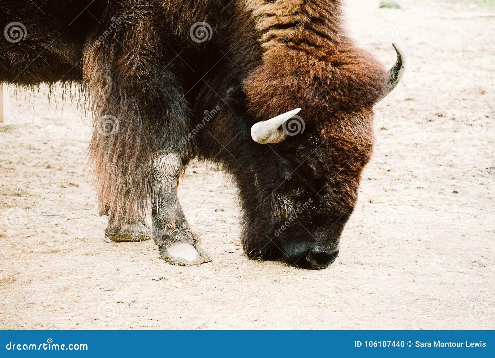 北美野牛在动物园里