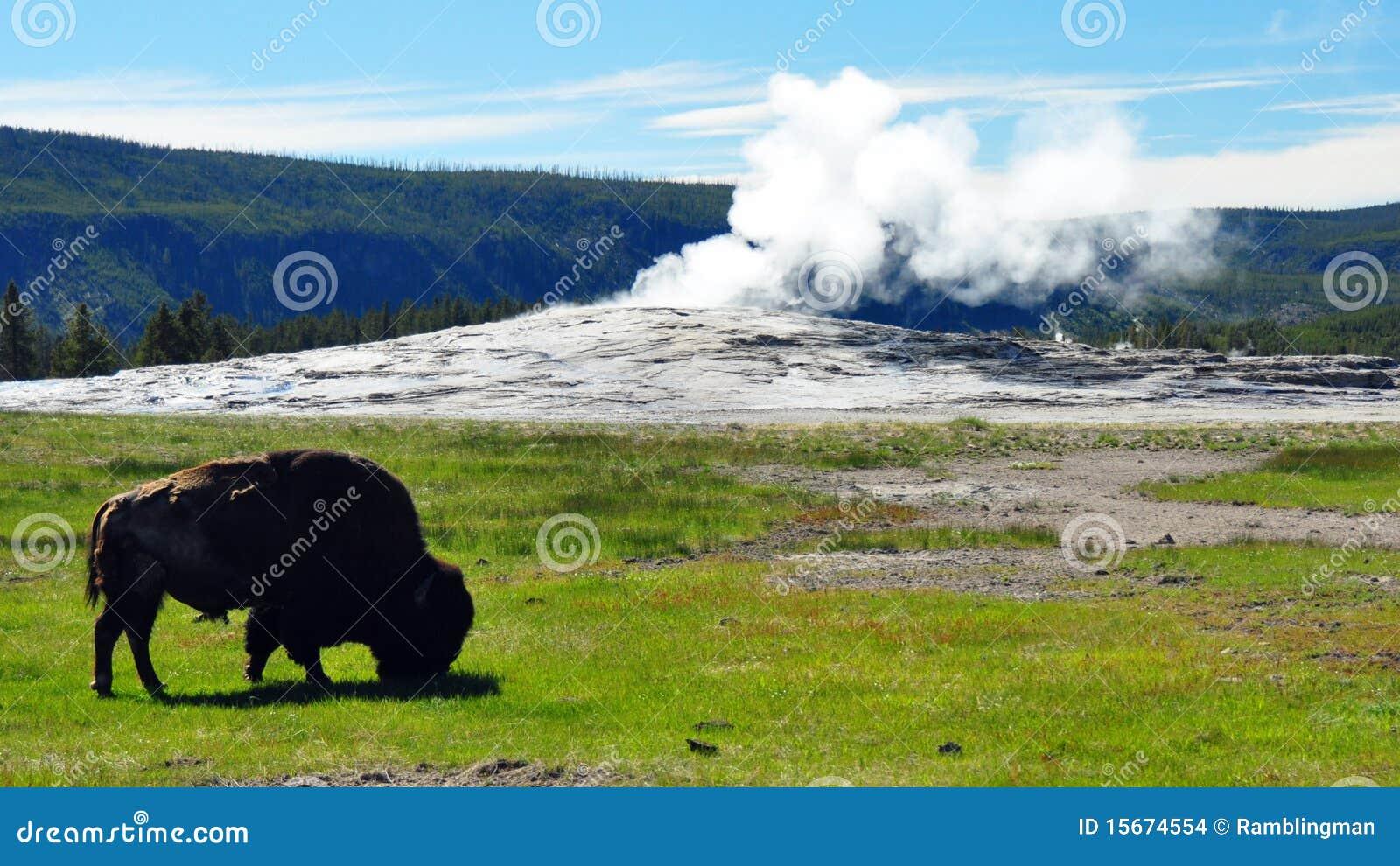 北美野牛忠实前老蒸