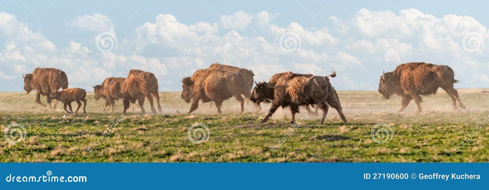北美野牛惊逃