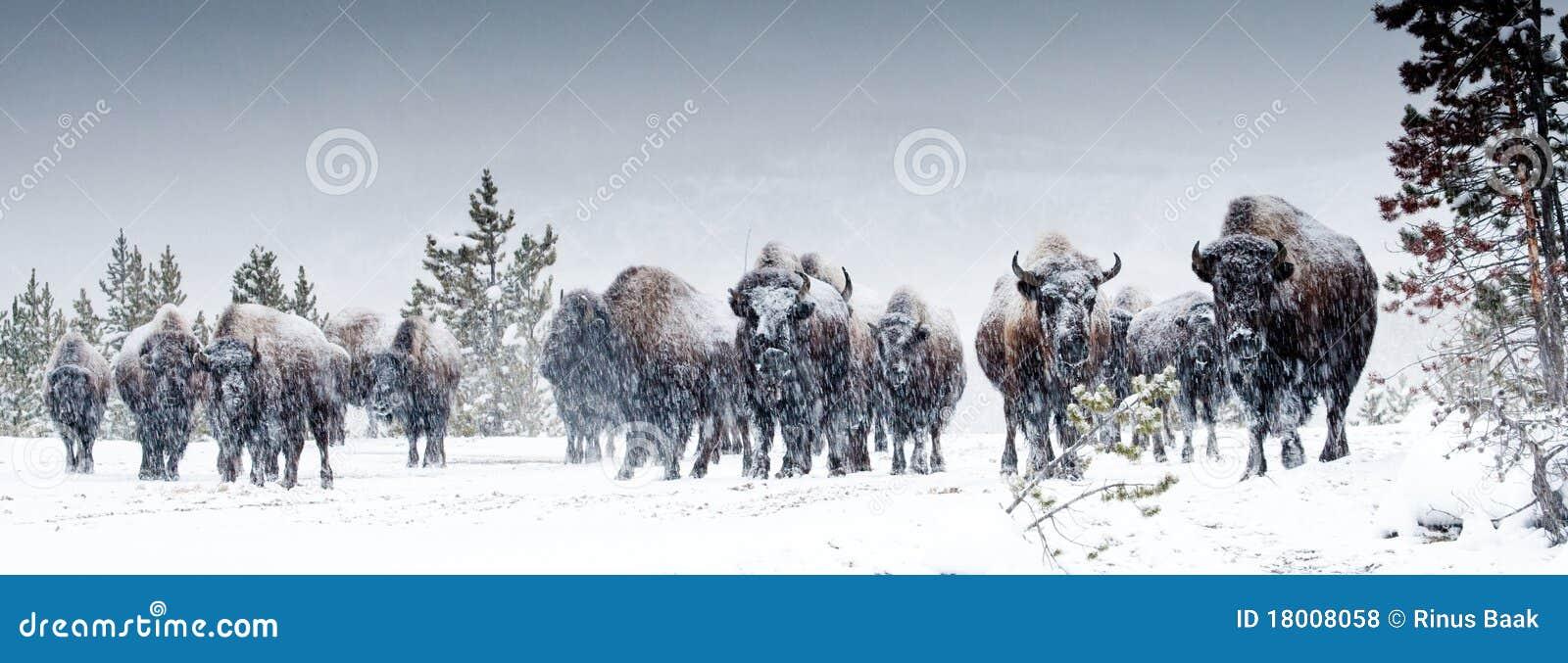 北美野牛牧群