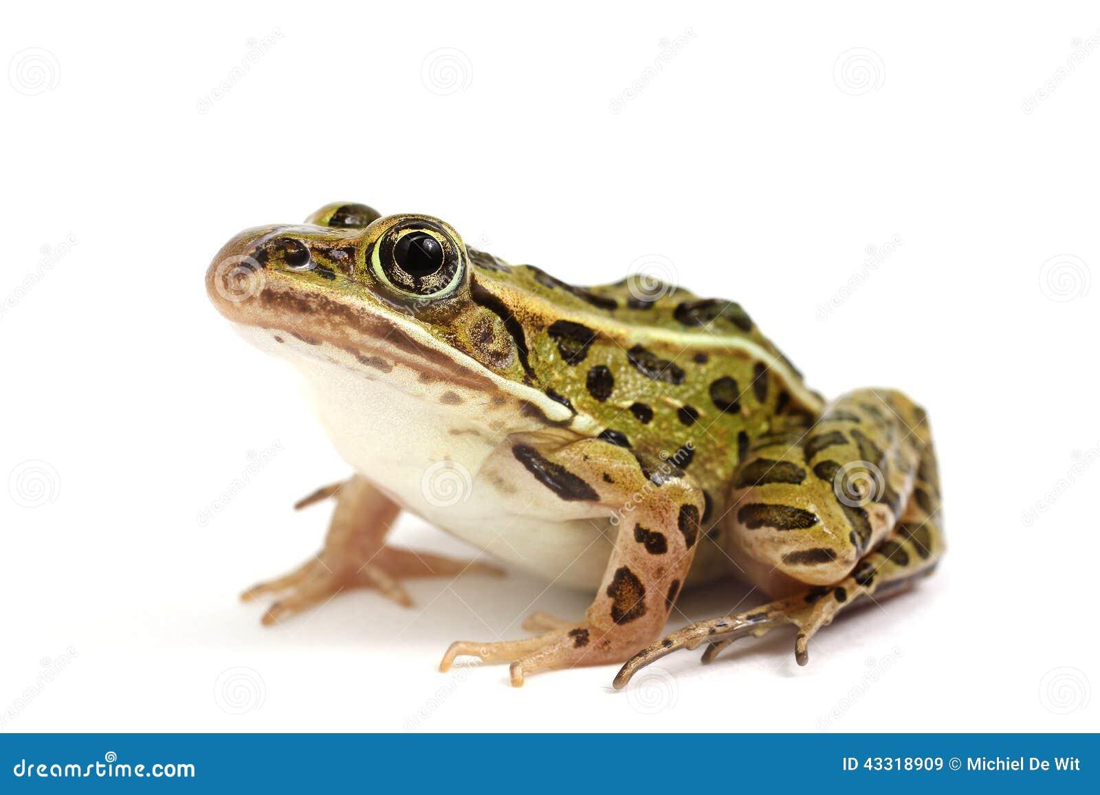 北豹子青蛙(Lithobates pipiens)