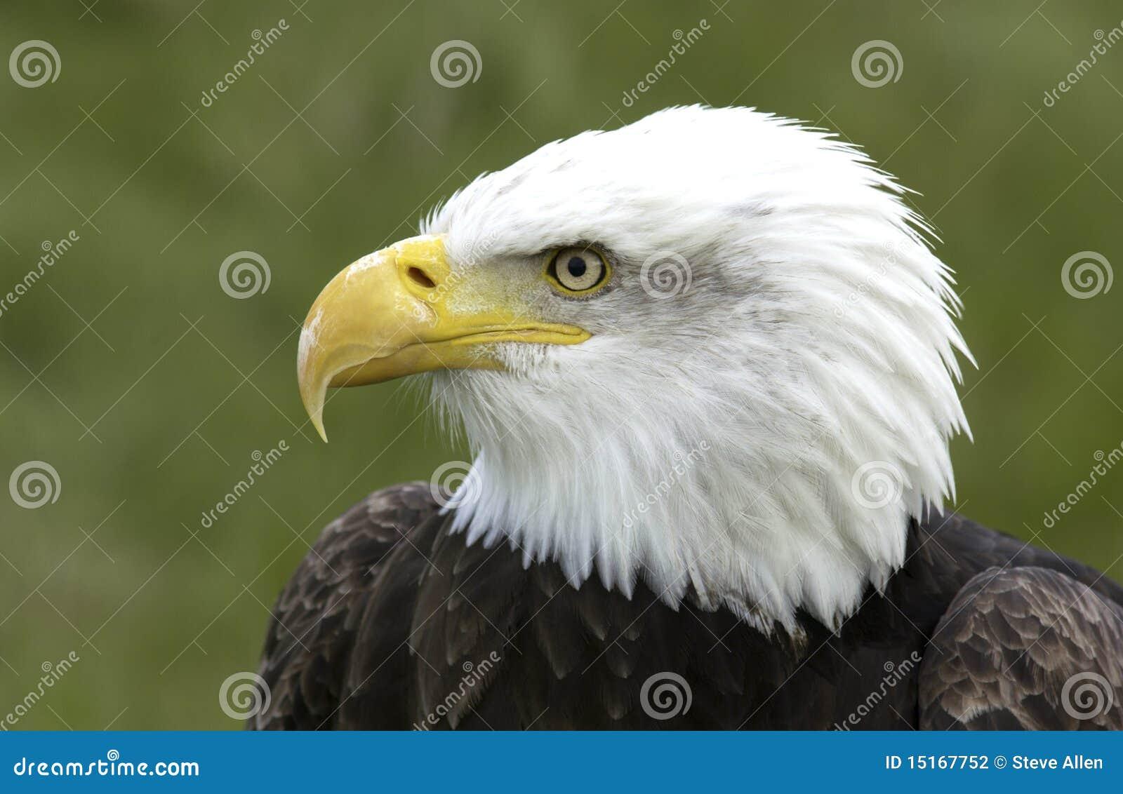 北部美国的白头鹰