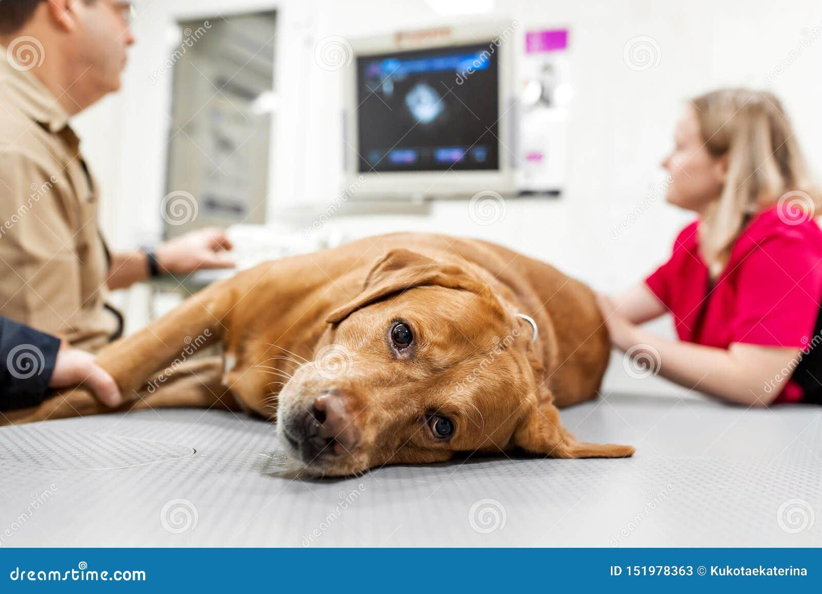 医生兽医做超声波和心电图狗的心脏在办公室 病态的狗品种看的拉布拉多