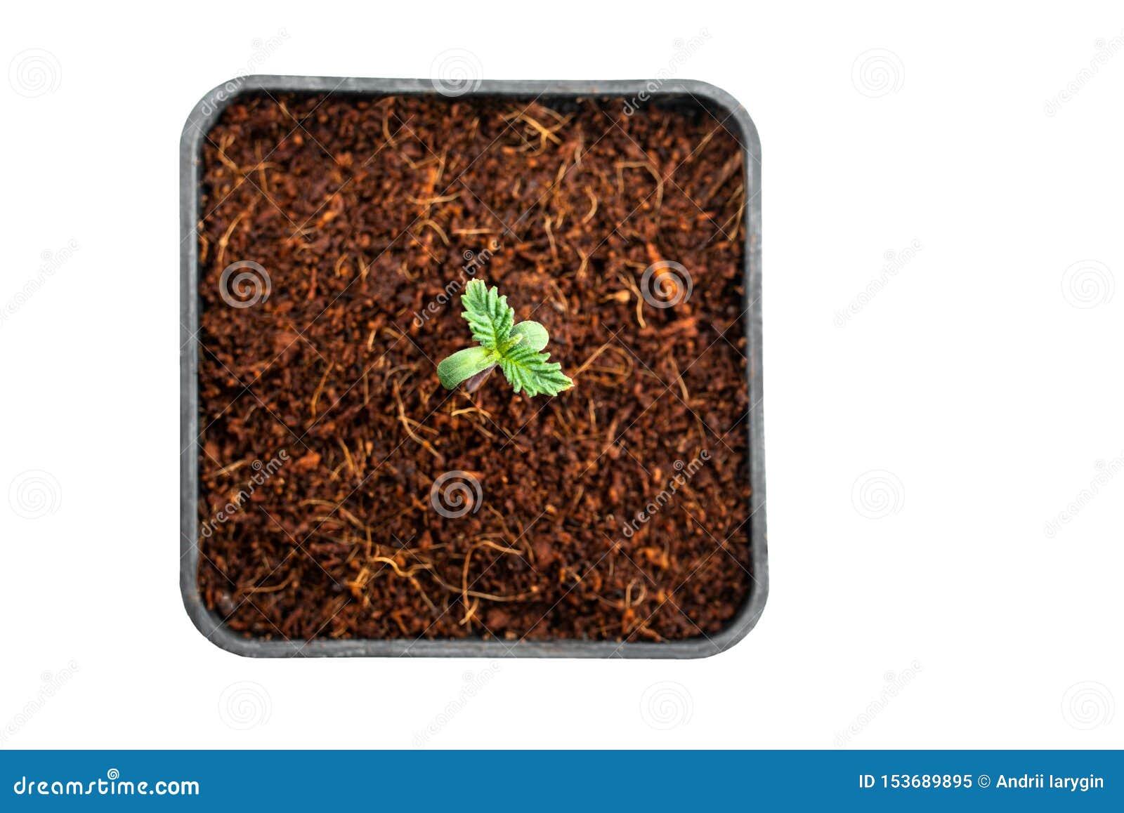 医疗大麻植物幼木