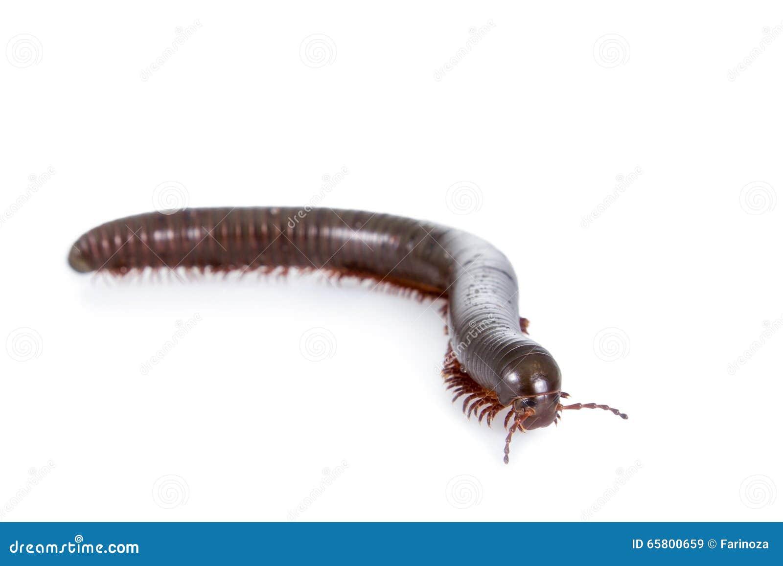千足虫,在白色的多足纲