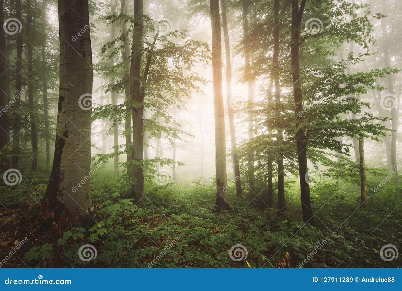升起在有雾的被迷惑的绿色森林里的太阳