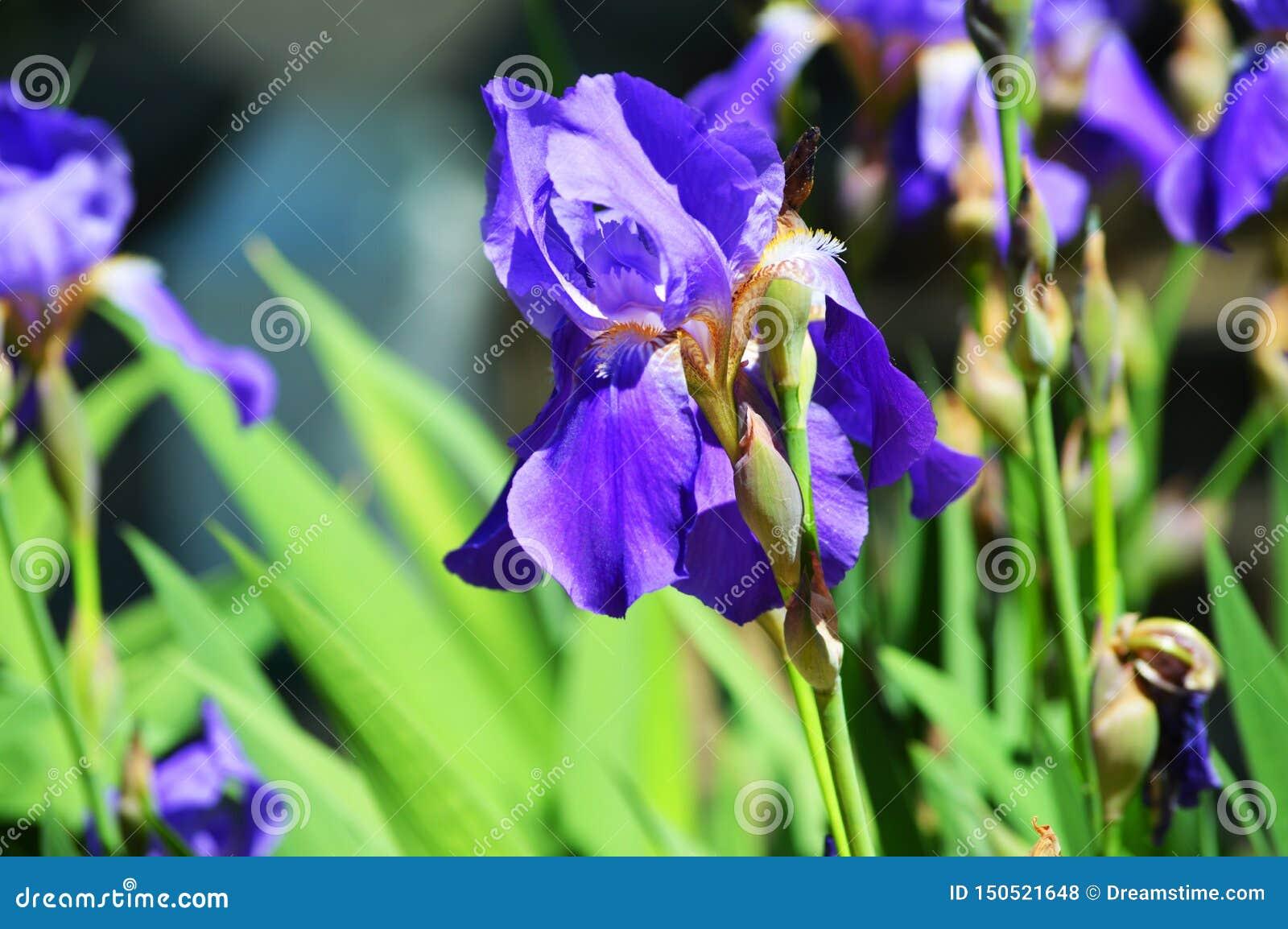 华美的虹膜 与紫罗兰色瓣的美丽的花