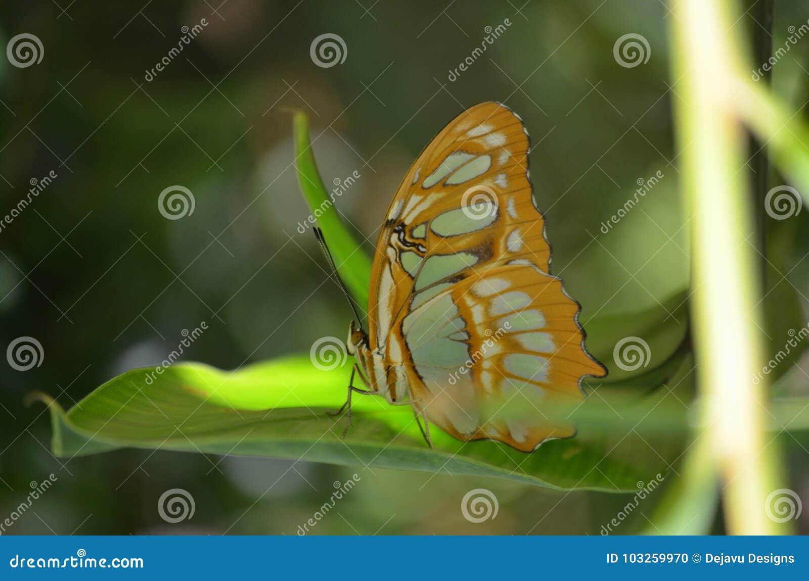 华美的黑和绿色绿沸铜蝴蝶关闭