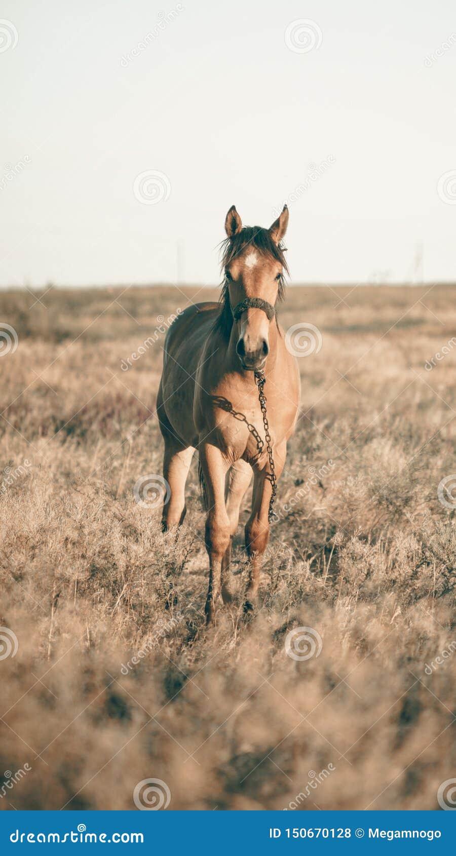 单独吃草在日落的草甸的马