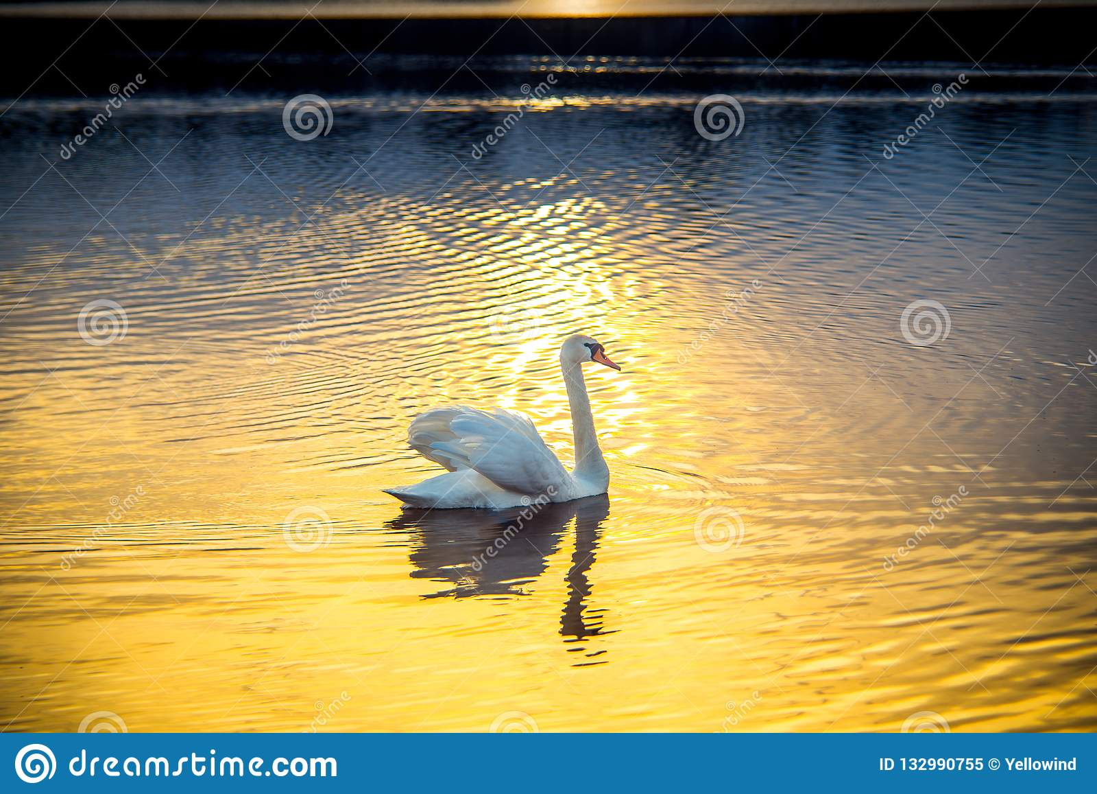 单独天鹅在日落在湖