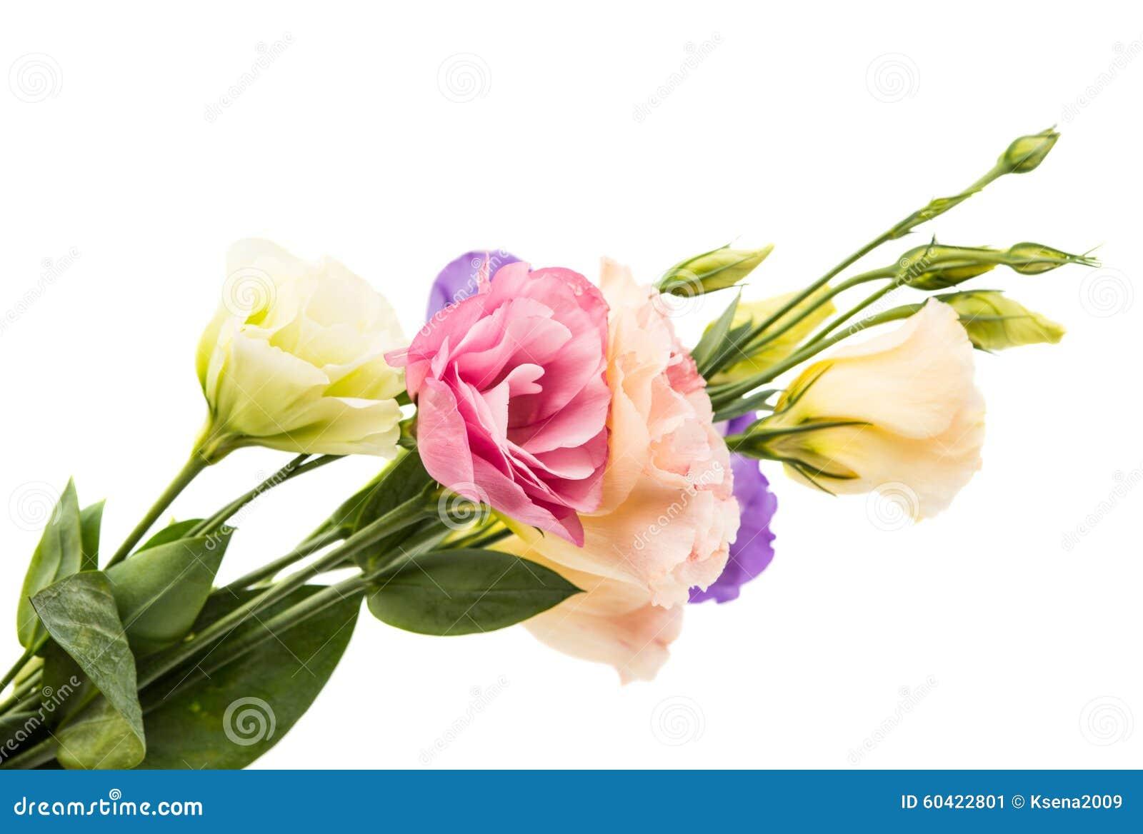 南北美洲香草花