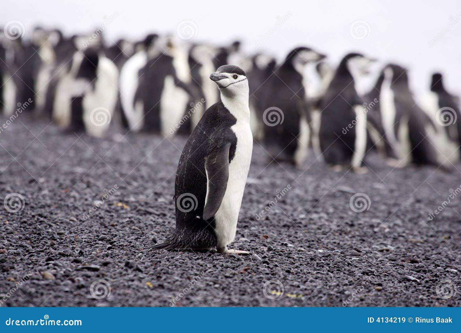 南极洲chinstrap企鹅