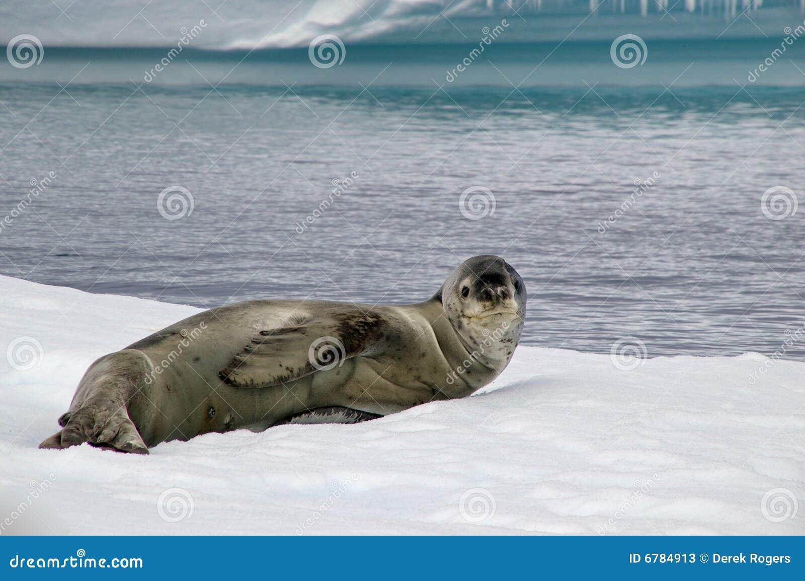 南极豹子密封
