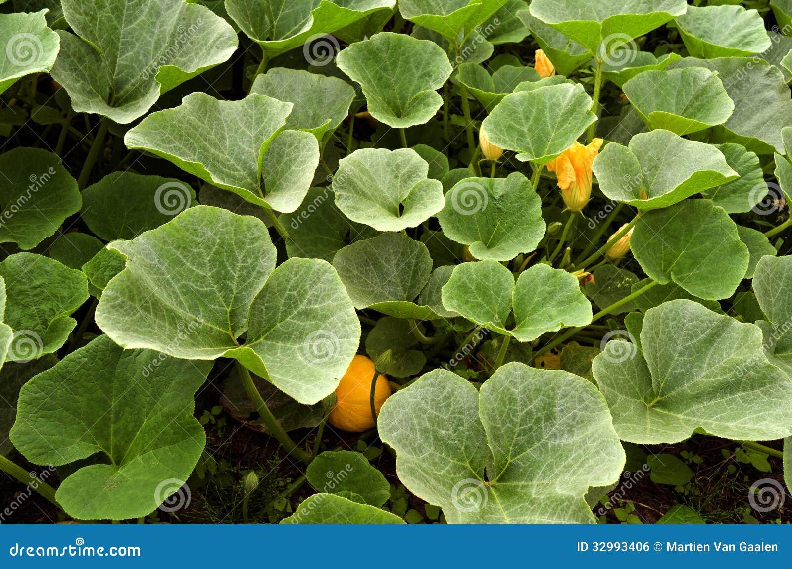 南瓜植物在有机菜园里。