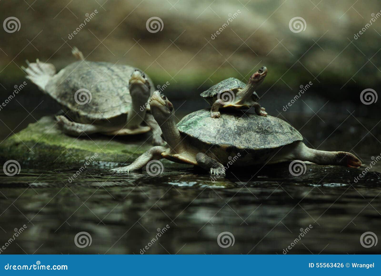 南部的河水龟(Batagur affinis)