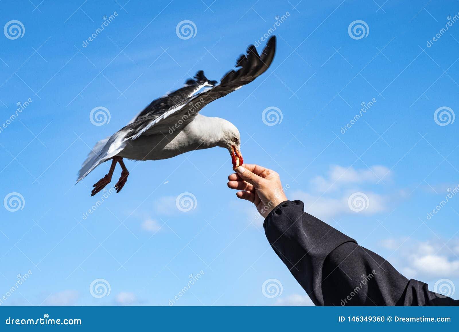南部的灰色鸥飞行和采取面包片 乌斯怀亚,阿根廷