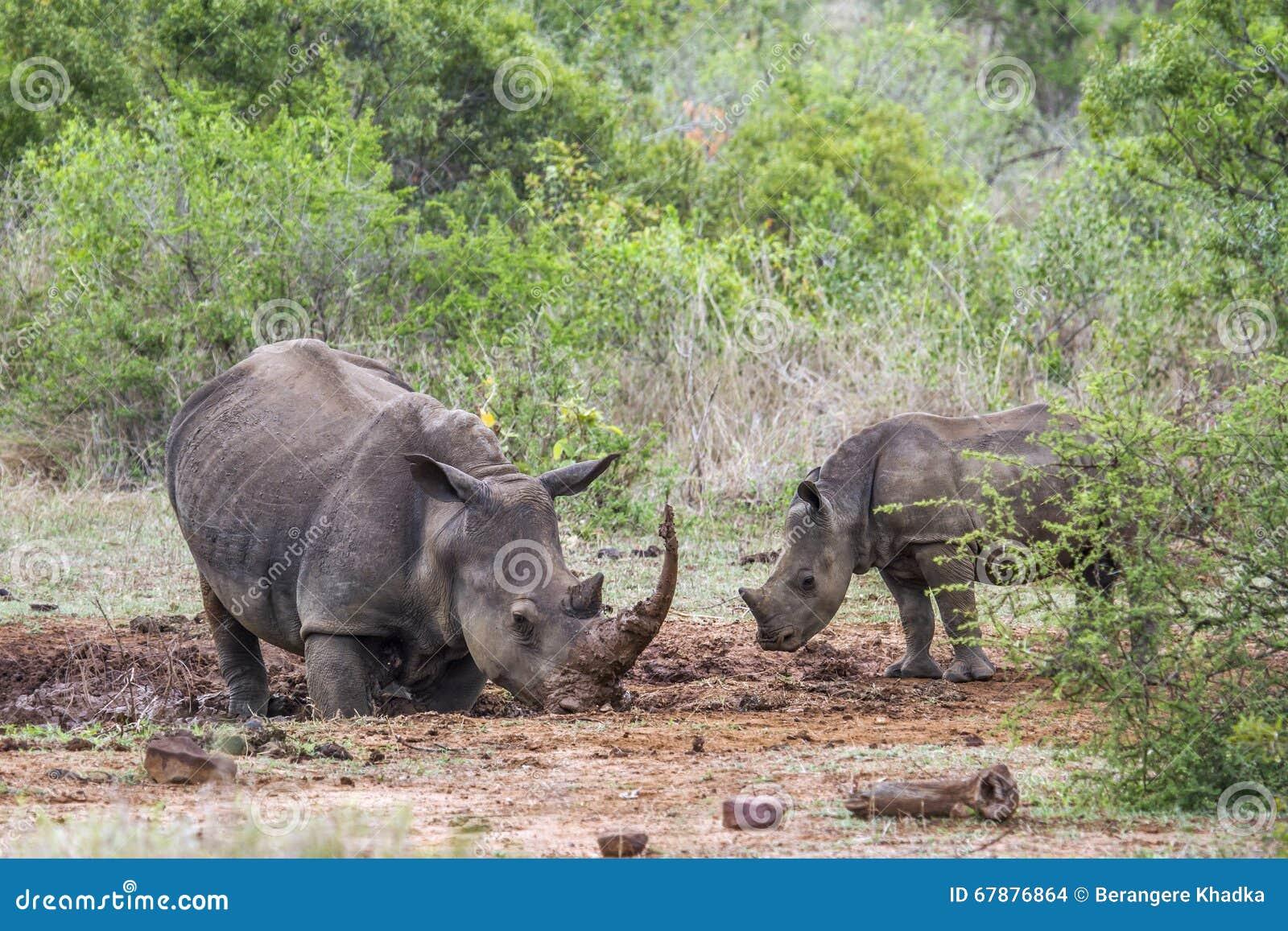 南部的白犀牛在克鲁格国家公园,南非