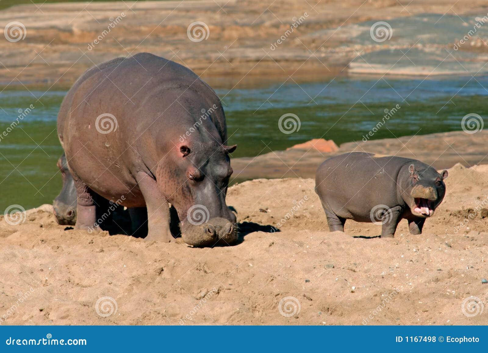 南非洲河马kruger的国家公园