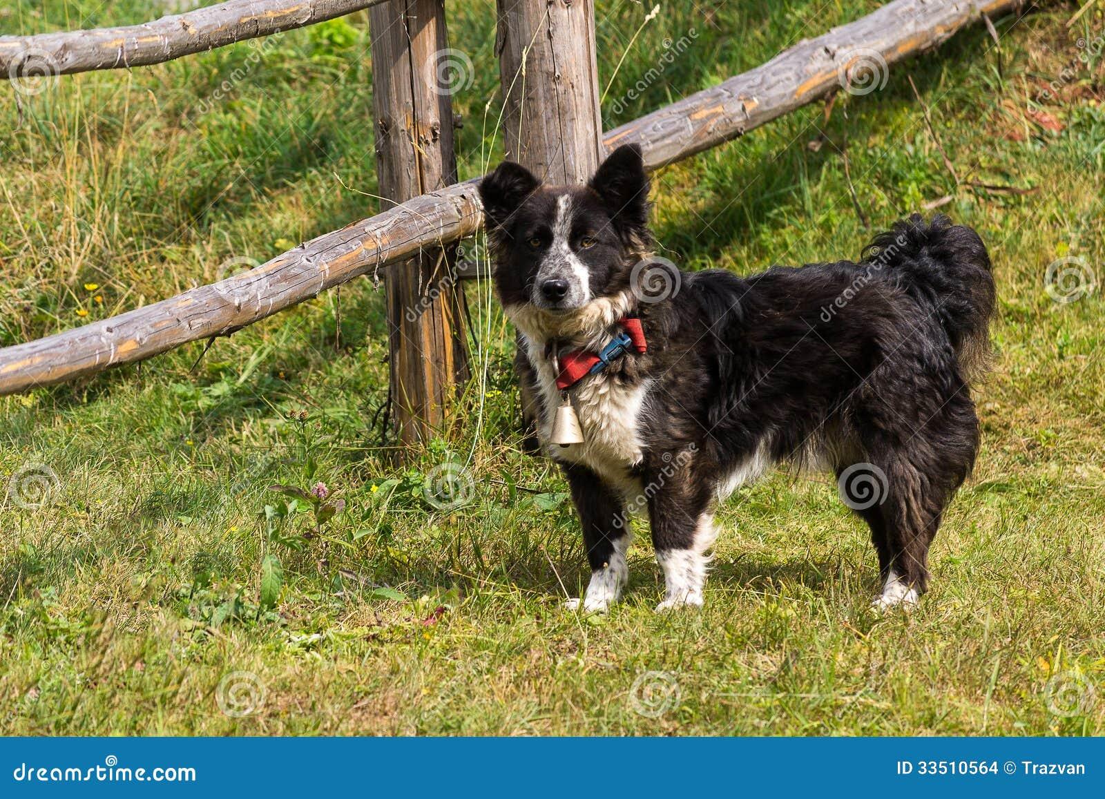 博德牧羊犬品种