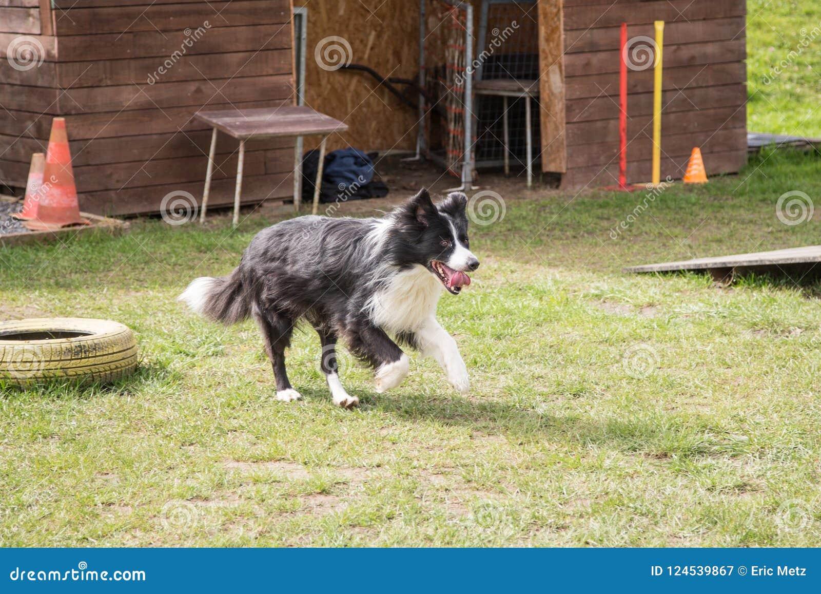 博德牧羊犬狗画象