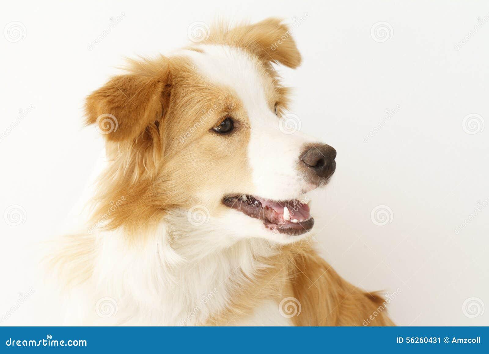 博德牧羊犬
