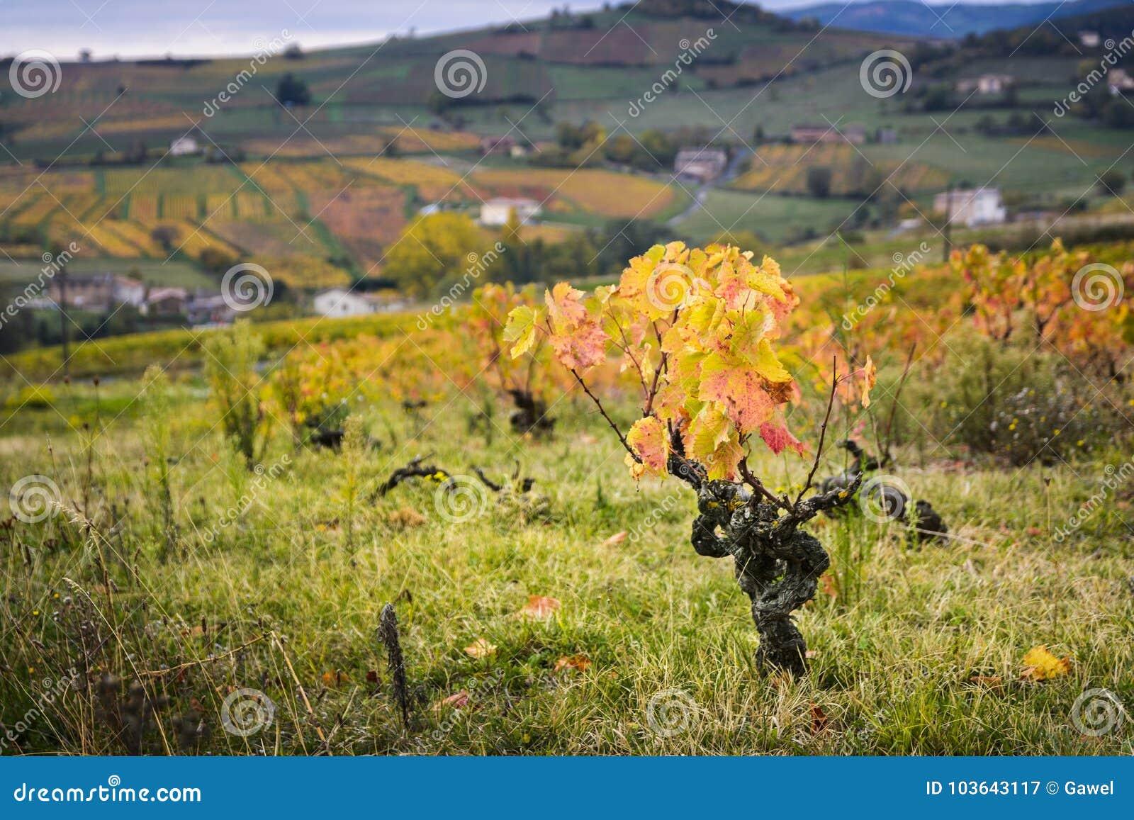 博若莱红葡萄酒和黄色叶子葡萄园在秋季期间的