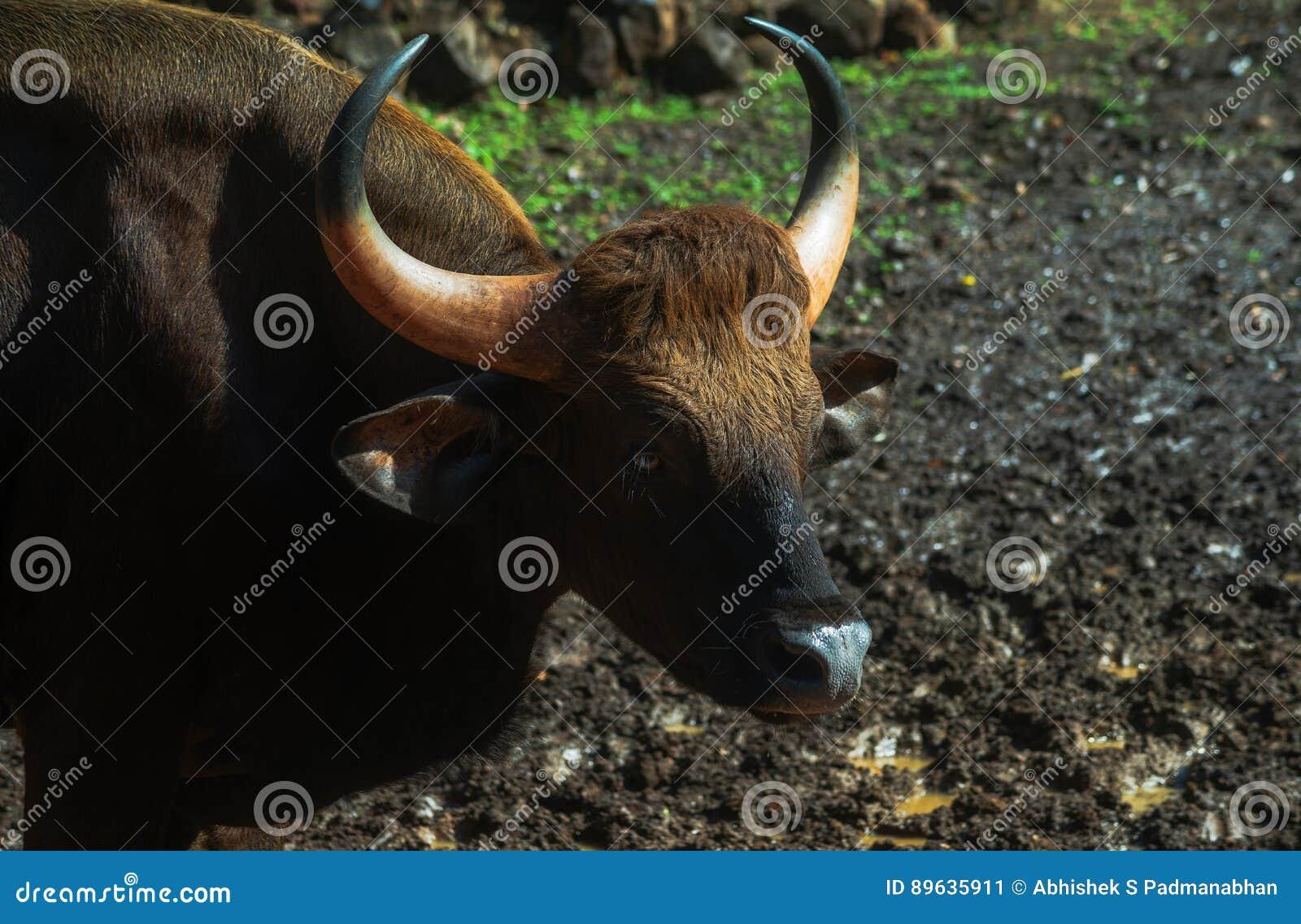 印地安北美野牛- Gaur