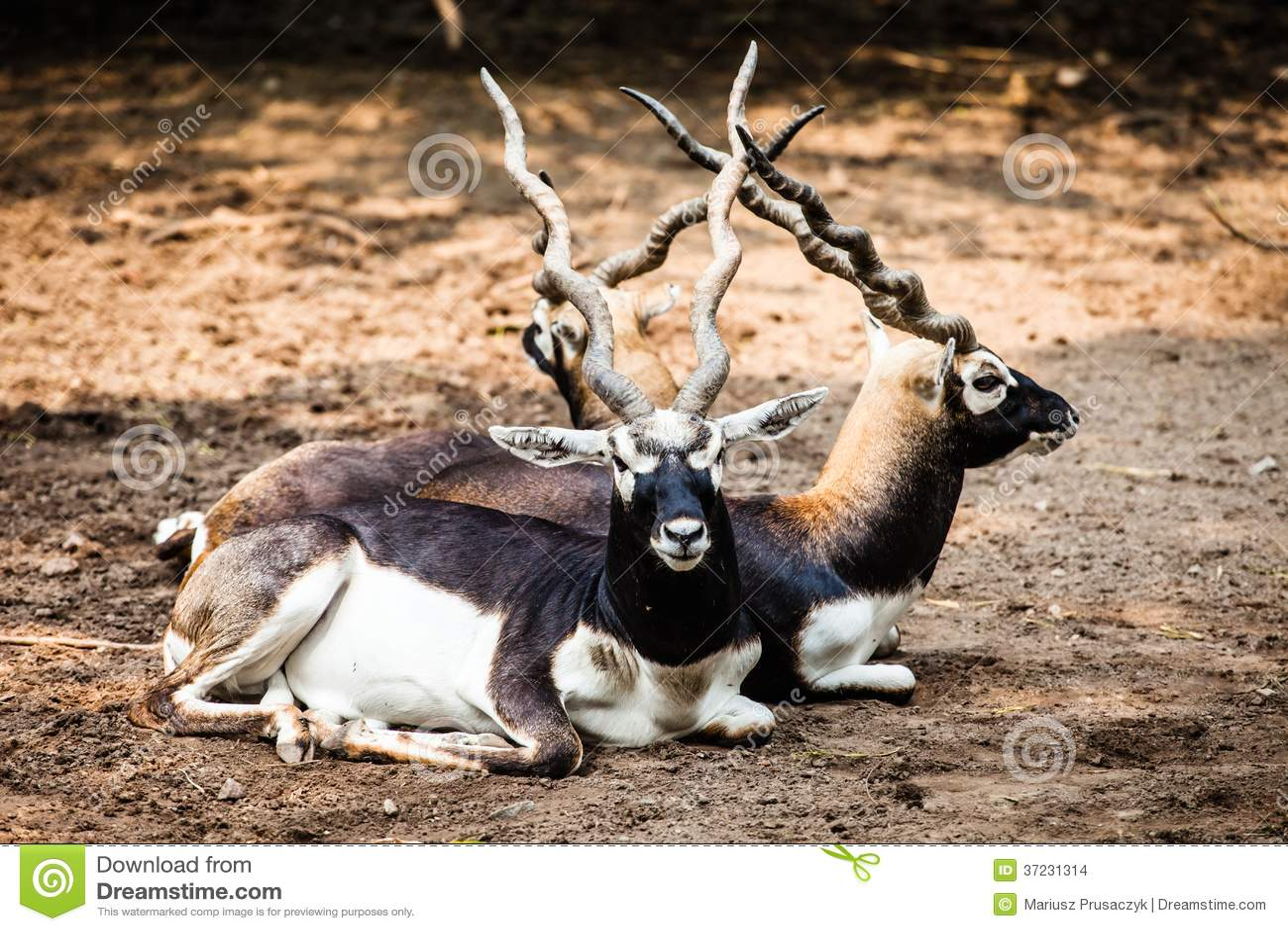 安车羚羊配件_印地安印度羚羚羊