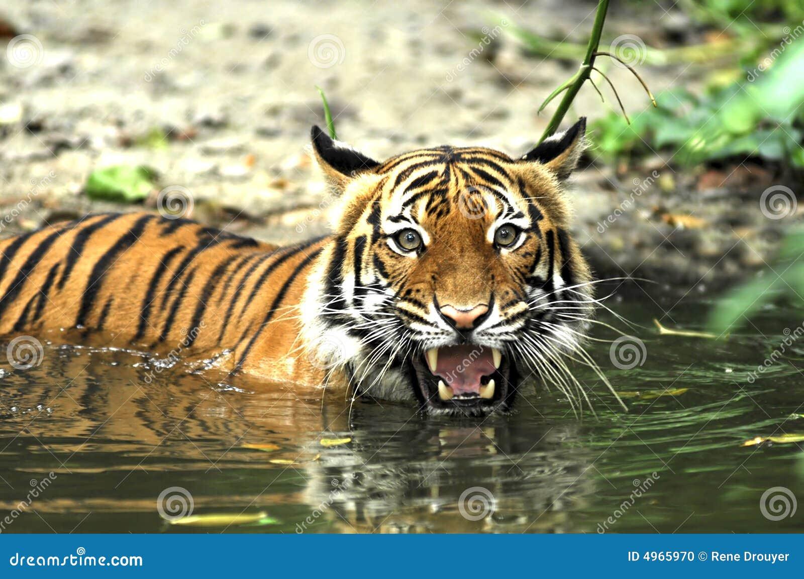 印度尼西亚苏门答腊老虎
