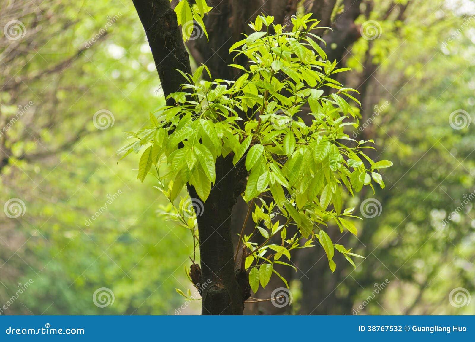 榕树新的叶子在春天.图片