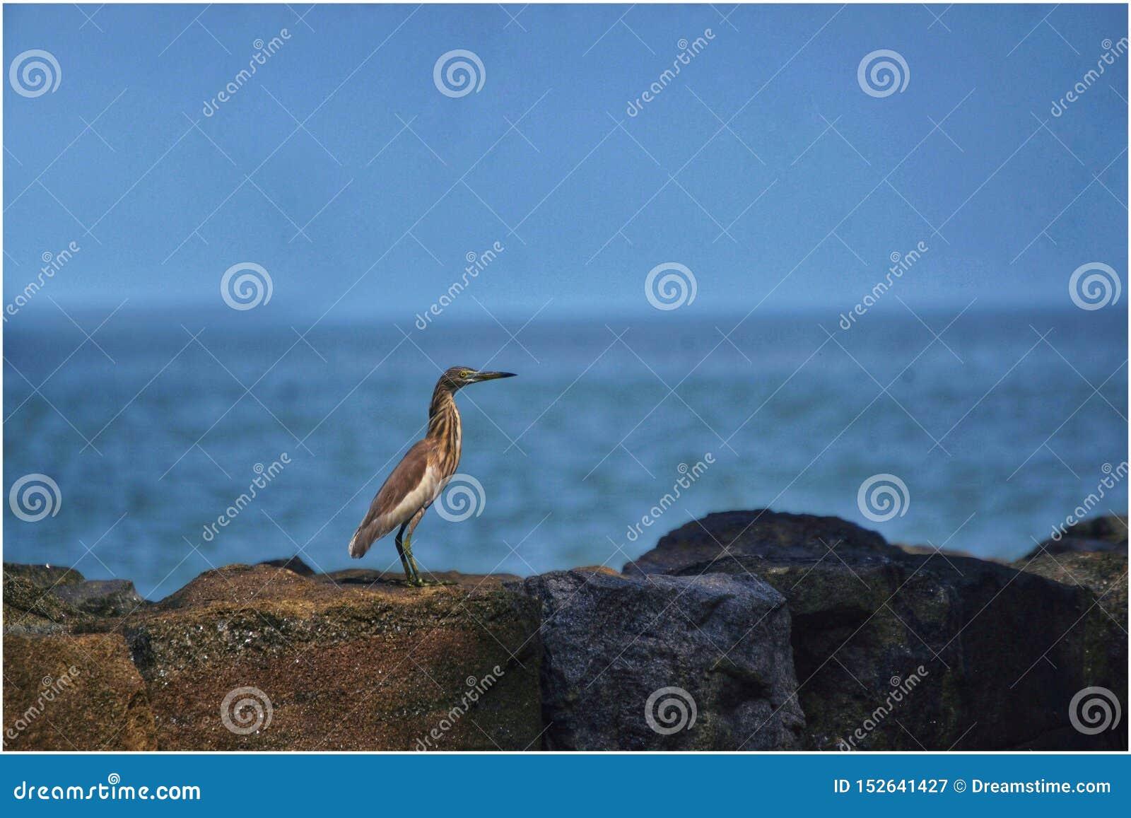 印度池塘苍鹭