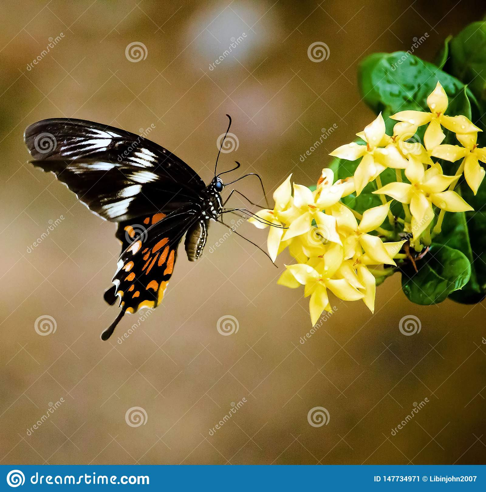 印度蝴蝶- Papilio polytes
