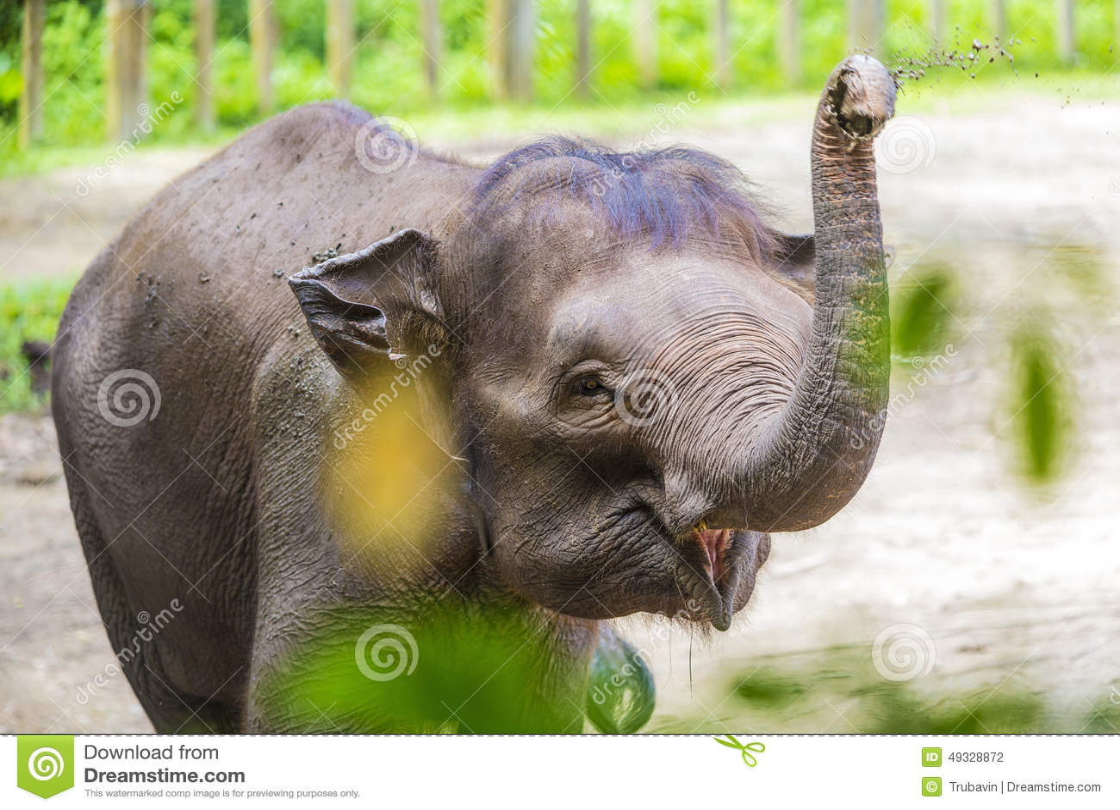 年轻印度象