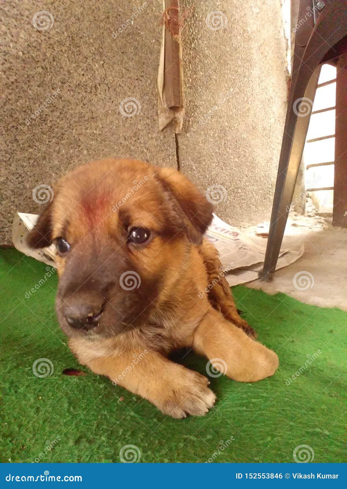 印度逗人喜爱的小狗