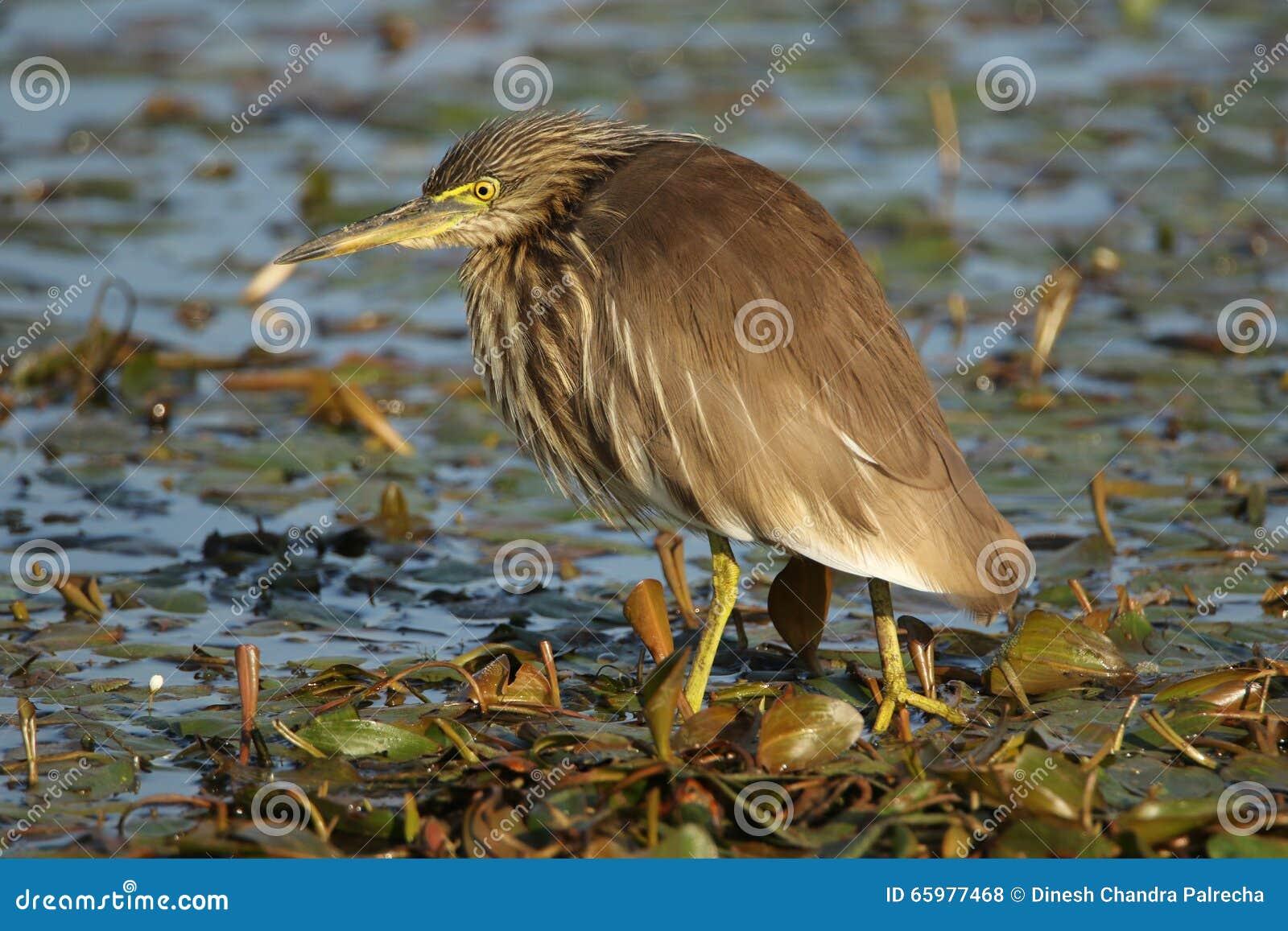 印第安池塘苍鹭
