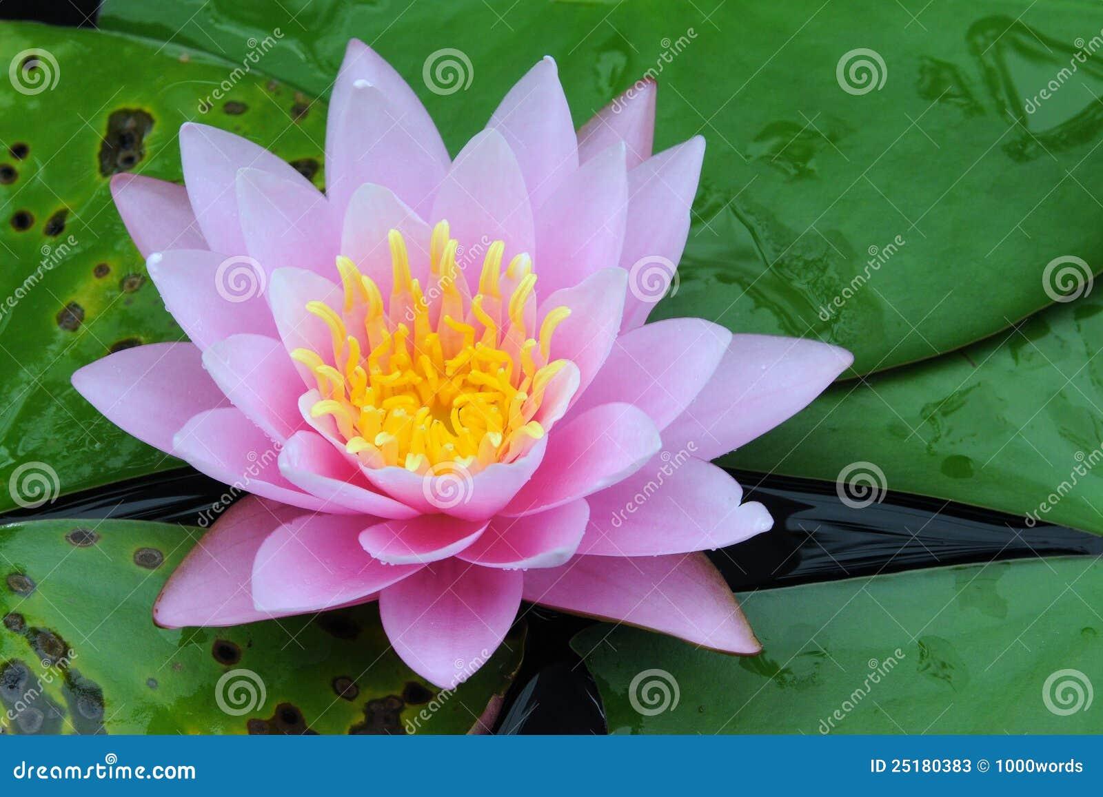 印第安莲花莲属nucifera
