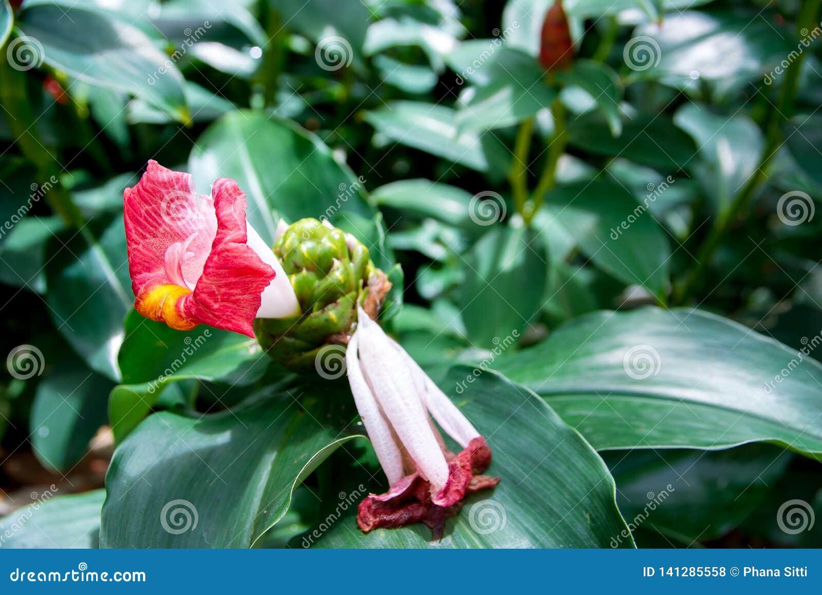 印第安黑德姜花在庭院里 Costus Speciosus