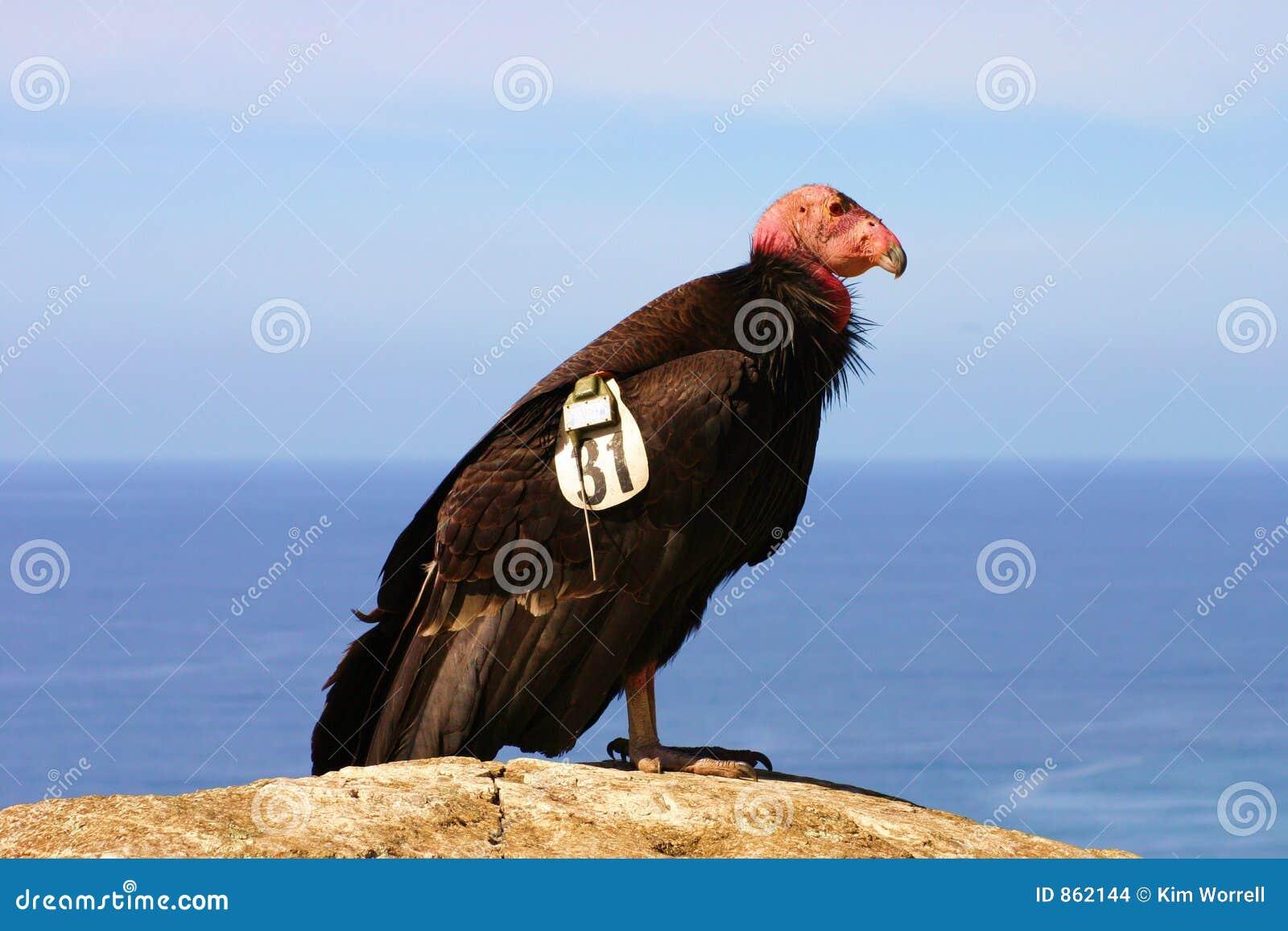 危险的加州秃鹰