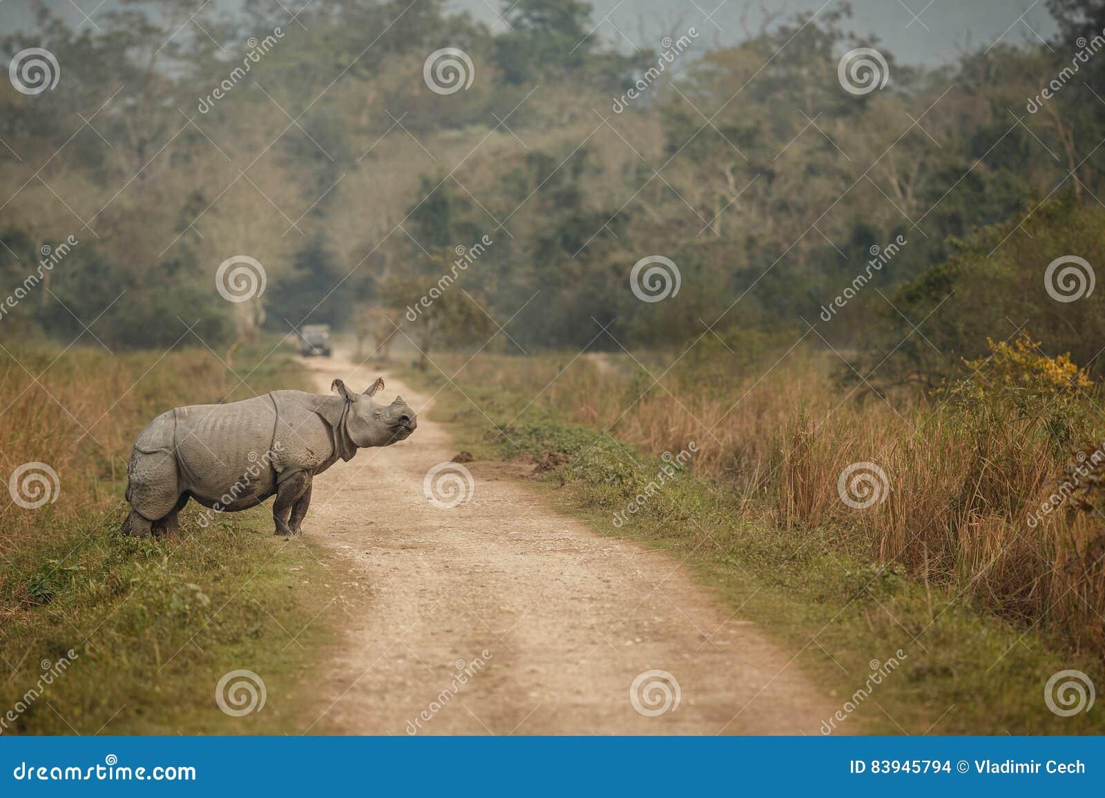 危险的印地安犀牛在自然栖所