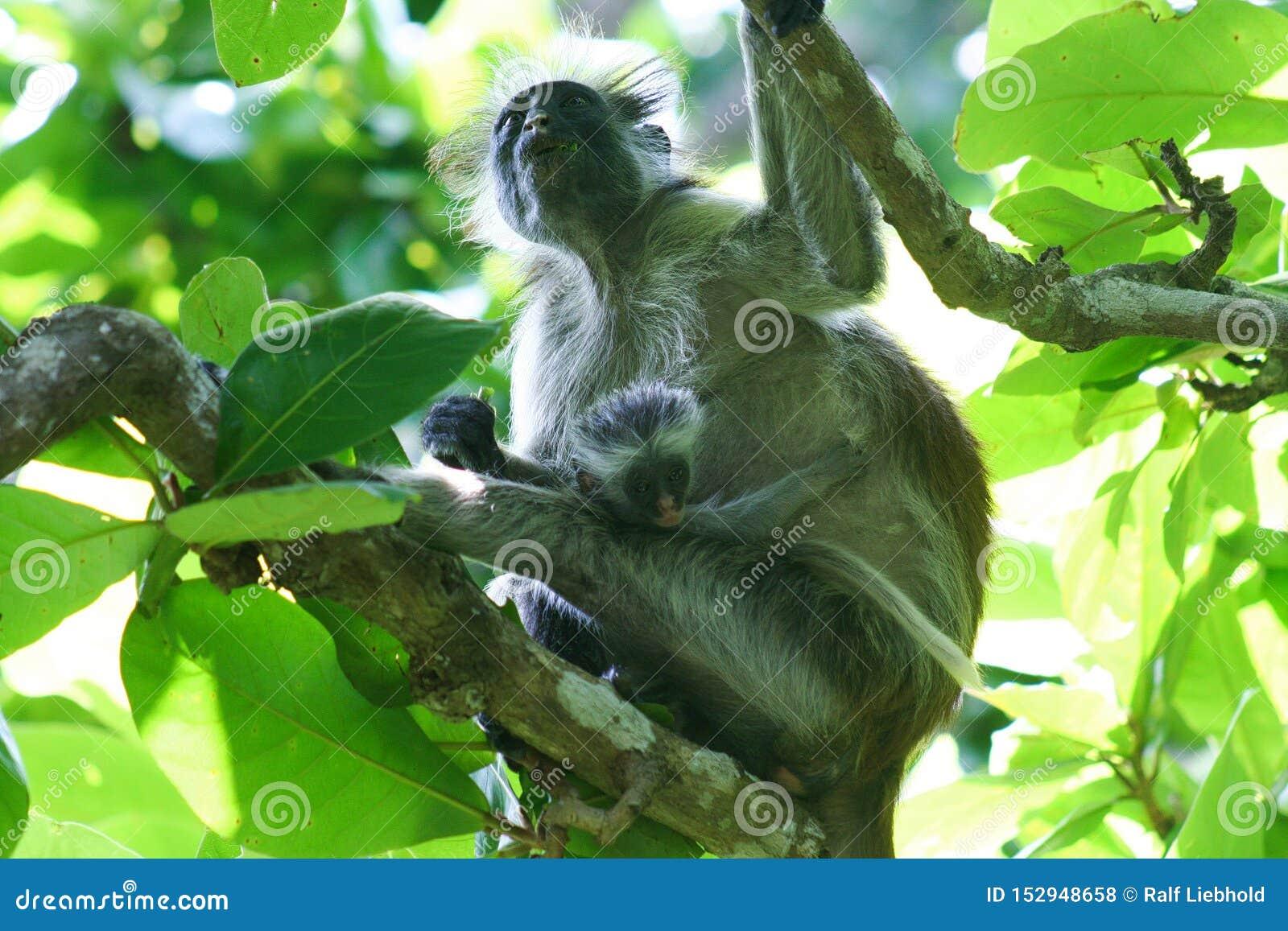 危险的红色短尾猴Piliocolobus,Procolobus有婴孩的kirkii母亲Jozani森林,桑给巴尔树的