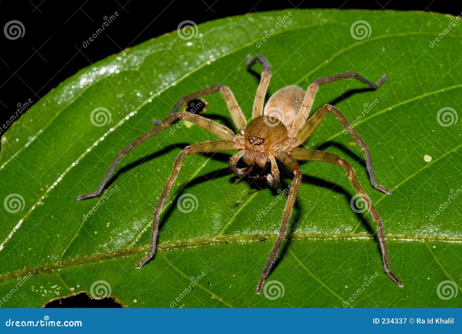 厄瓜多尔蜘蛛