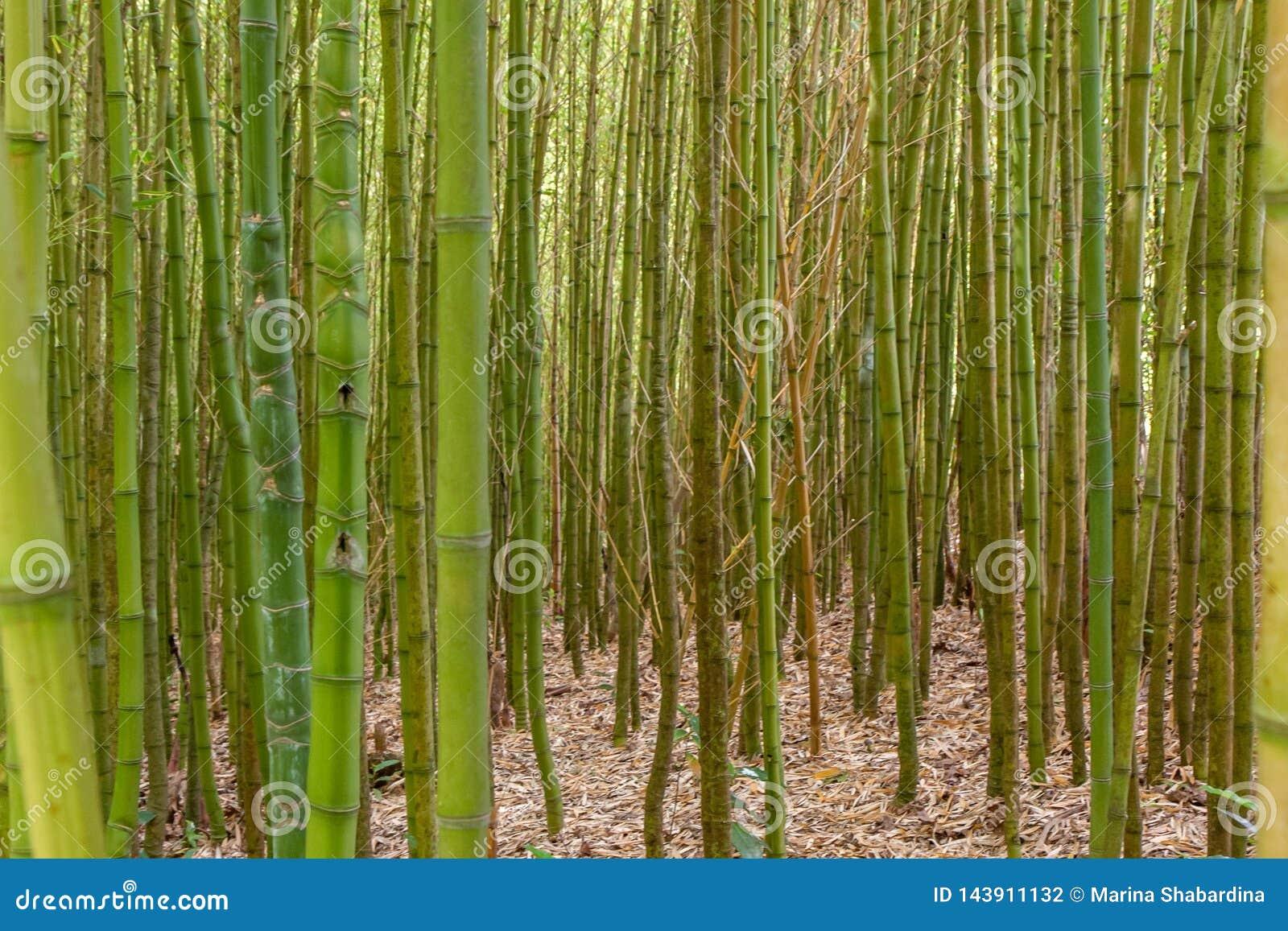 厚实的竹丛林关闭