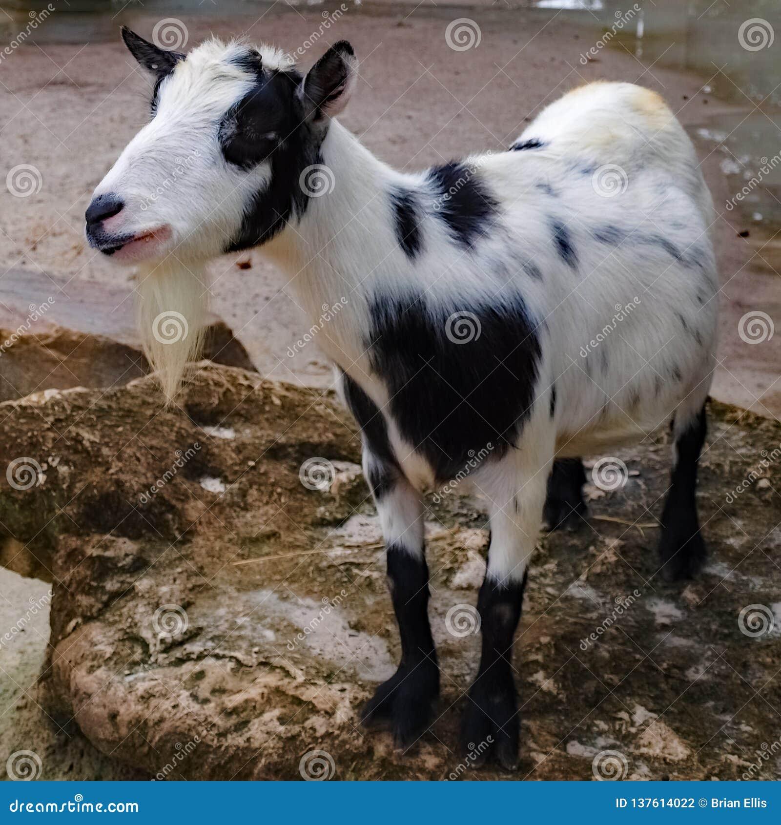友好的矮小的易上镜头的山羊