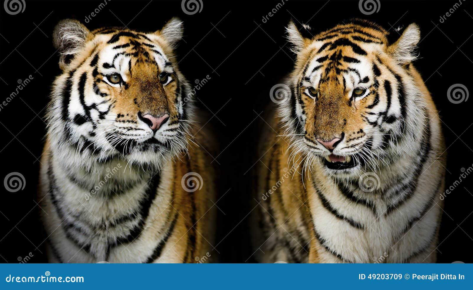 双老虎 (和您可能发现在我的股份单的更多动物 )