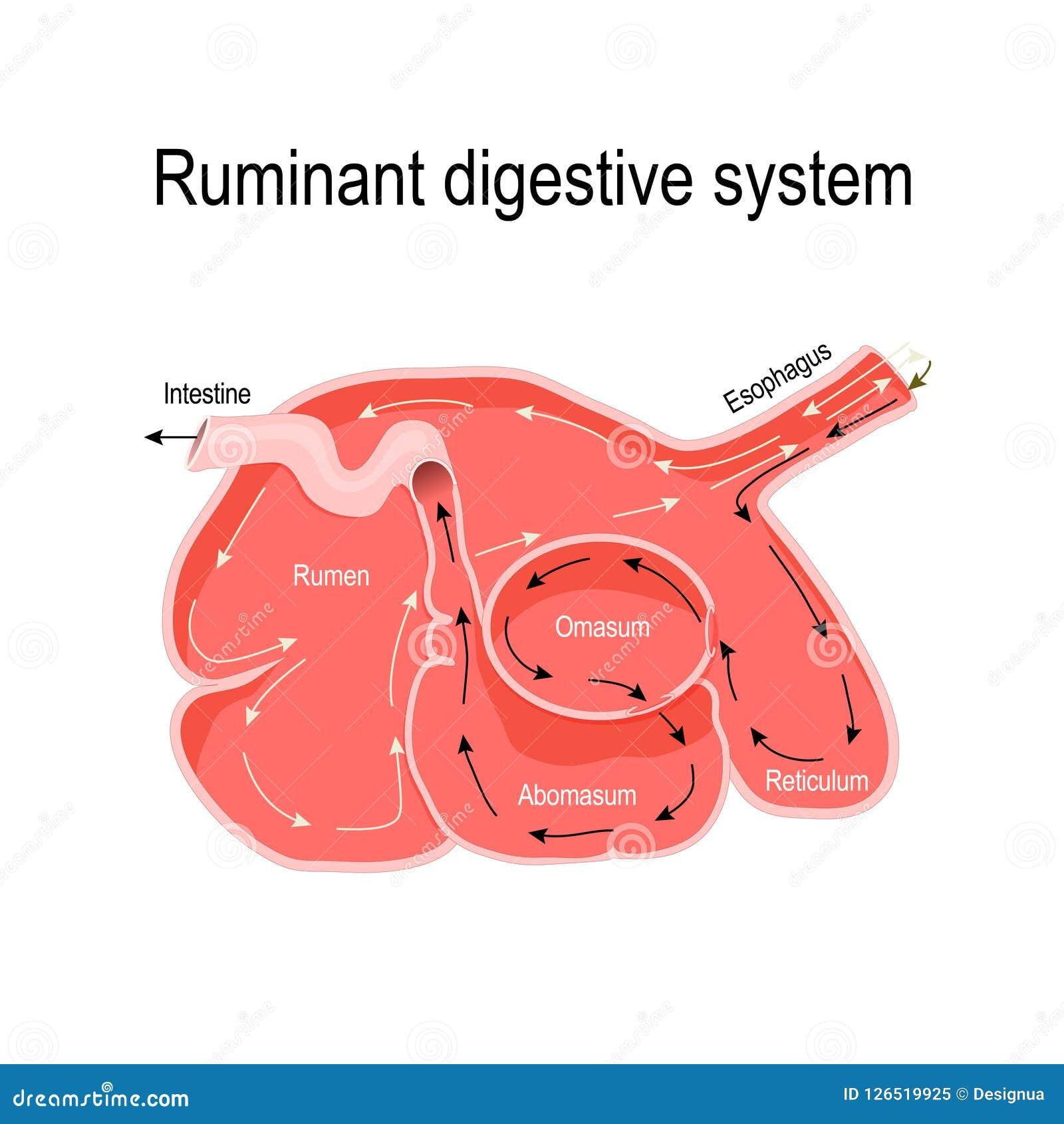 反刍动物胃的横断面